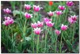 тюльпаны фотографии цветов высокого качества