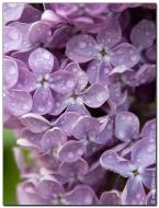 Май 2010 цветение сирени
