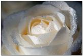 роза цветы