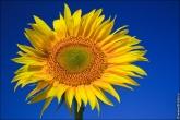 Желтый подсолнух на голубом фоне