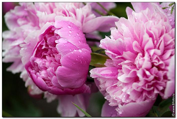 Корзина цветов фото пионы