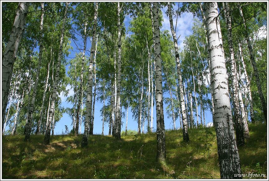 Березки в лесу