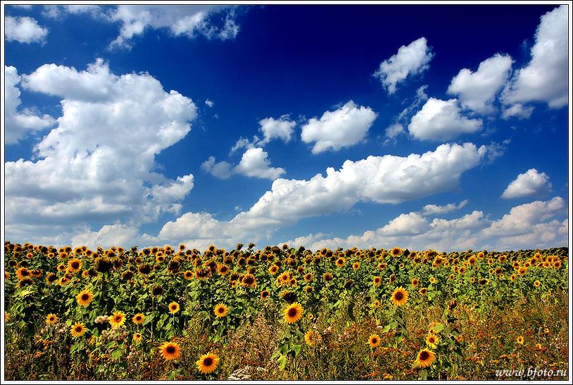 Фото подсолнухов в высоком разрешении