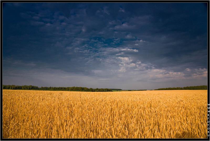 полей пшеницы