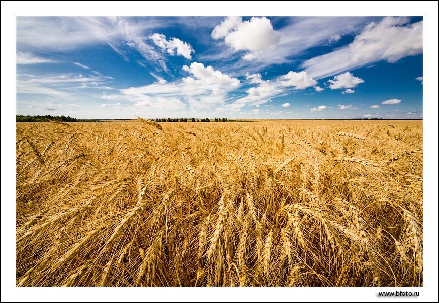 поле пшеницы.