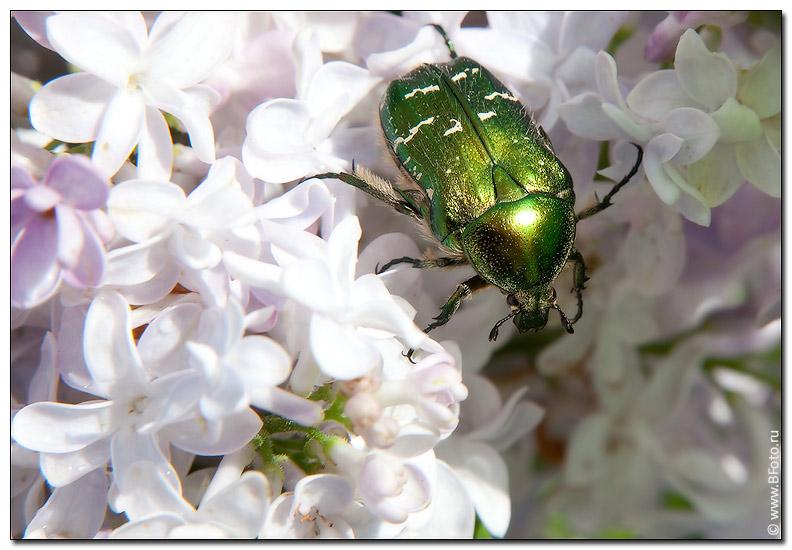 фотография зеленого июньского жука фото высокого качества, фотобанк