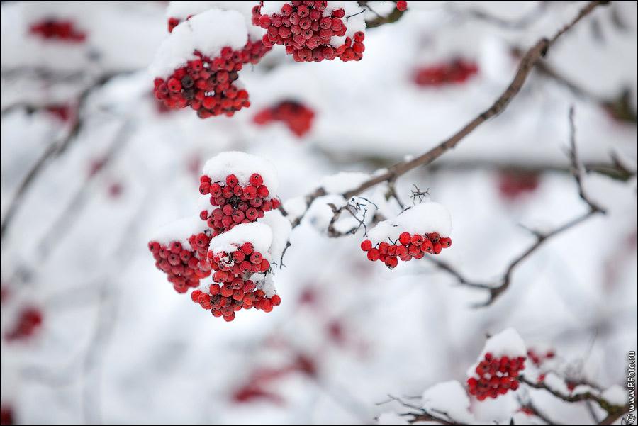 Рябина в снегу фото 553-957