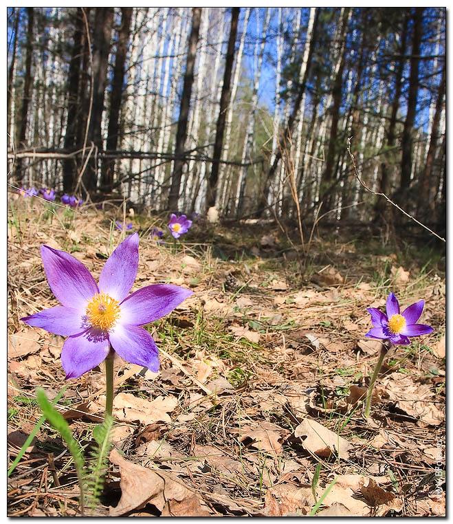 Фиолетовые цветы в весеннем лесу в апреле