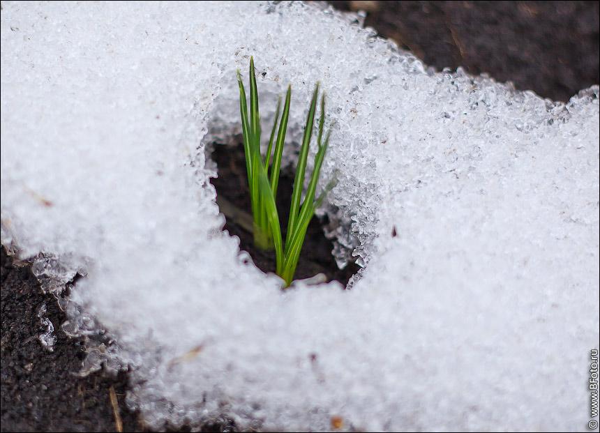 Подснежник в снегу