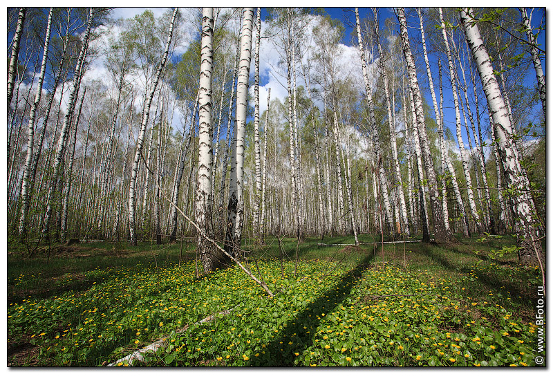 Березки весна лес