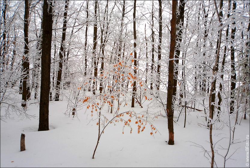 bfoto ru 1400 Оранжевое дерево в зимнем лесу