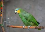 bfoto ru 2404a Видео и фото попугая Венесуэльский Амазон