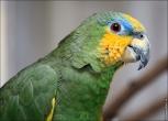bfoto ru 2405a Видео и фото попугая Венесуэльский Амазон
