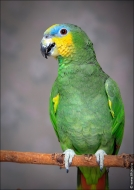 bfoto ru 2406a Видео и фото попугая Венесуэльский Амазон