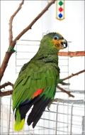 bfoto ru 2407a Видео и фото попугая Венесуэльский Амазон
