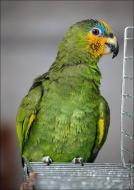 bfoto ru 2408a Видео и фото попугая Венесуэльский Амазон