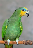 bfoto ru 2409a Видео и фото попугая Венесуэльский Амазон
