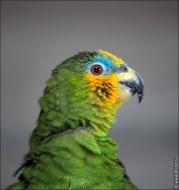 bfoto ru 2410a Видео и фото попугая Венесуэльский Амазон
