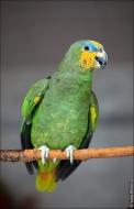 bfoto ru 2411a Видео и фото попугая Венесуэльский Амазон