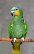 bfoto ru 2412a Видео и фото попугая Венесуэльский Амазон