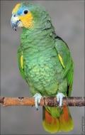 bfoto ru 2486a Видео и фото попугая Венесуэльский Амазон