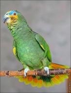 bfoto ru 2487a Видео и фото попугая Венесуэльский Амазон