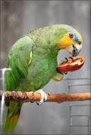 bfoto ru 2488a Видео и фото попугая Венесуэльский Амазон