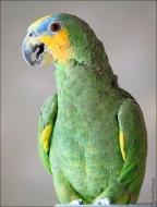 bfoto ru 2489a Видео и фото попугая Венесуэльский Амазон