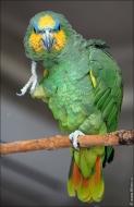 bfoto ru 2490a Видео и фото попугая Венесуэльский Амазон