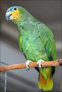 bfoto ru 2491a Видео и фото попугая Венесуэльский Амазон