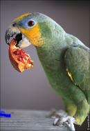 bfoto ru 2492a Видео и фото попугая Венесуэльский Амазон