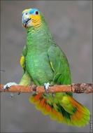 bfoto ru 2493a Видео и фото попугая Венесуэльский Амазон