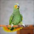 bfoto ru 2494a Видео и фото попугая Венесуэльский Амазон