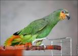 bfoto ru 2495a Видео и фото попугая Венесуэльский Амазон