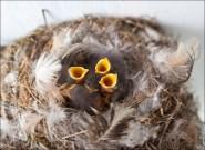 IMG 9021 185x135 Птицы России, Горихвостка чернушка от яйца до птенца фотографии и видео