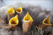 IMG 9222 185x123 Птицы России, Горихвостка чернушка от яйца до птенца фотографии и видео