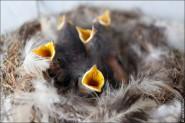 IMG 9243 185x123 Птицы России, Горихвостка чернушка от яйца до птенца фотографии и видео