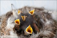 IMG 9246 185x123 Птицы России, Горихвостка чернушка от яйца до птенца фотографии и видео