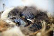 IMG 9478 185x123 Птицы России, Горихвостка чернушка от яйца до птенца фотографии и видео