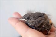 IMG 9533 185x123 Птицы России, Горихвостка чернушка от яйца до птенца фотографии и видео