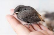IMG 9577 185x119 Птицы России, Горихвостка чернушка от яйца до птенца фотографии и видео