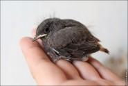 IMG 9582 185x124 Птицы России, Горихвостка чернушка от яйца до птенца фотографии и видео