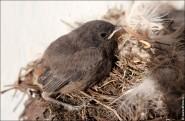 IMG 9600 185x121 Птицы России, Горихвостка чернушка от яйца до птенца фотографии и видео