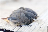 IMG 9641 185x126 Птицы России, Горихвостка чернушка от яйца до птенца фотографии и видео