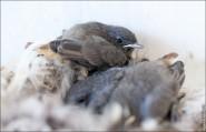 IMG 9657 185x119 Птицы России, Горихвостка чернушка от яйца до птенца фотографии и видео