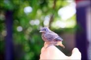 IMG 9660 185x123 Птицы России, Горихвостка чернушка от яйца до птенца фотографии и видео