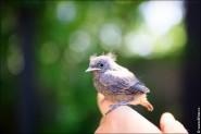 IMG 9667 185x123 Птицы России, Горихвостка чернушка от яйца до птенца фотографии и видео