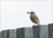 IMG 9702 185x135 Птицы России, Горихвостка чернушка от яйца до птенца фотографии и видео