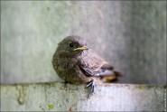 IMG 9797 185x124 Птицы России, Горихвостка чернушка от яйца до птенца фотографии и видео