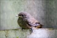 IMG 9800 185x124 Птицы России, Горихвостка чернушка от яйца до птенца фотографии и видео